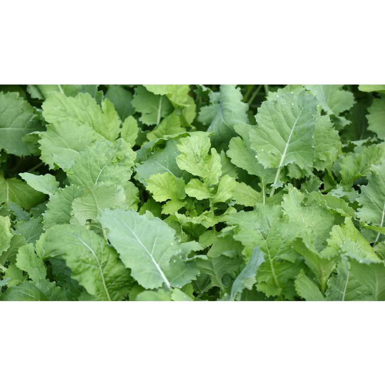 Whitetail Institute Imperial Beets Amp Greens From Buymbs Com